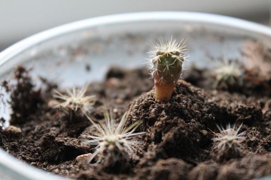 En fyramånaders kaktus